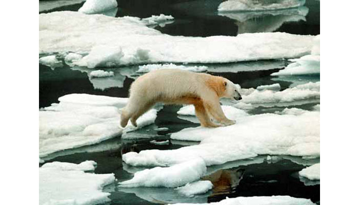 Polar bear hunting on Arctic sea ice