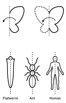 Flatworm, Ant, Human